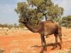 We rijden nu ook langs levende kamelen