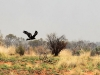en roofvogels die wegvliegen van hun prooi,