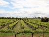 We komen aan grote wijngaarden voorbij
