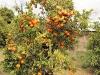 en langs veel sinaasappelbomen