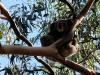 zien we al onze eerste Koala