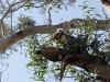 Ze knabbelen op Eucalyptus-blaadjes,