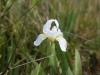 waar heel veel wilde, witte Irissen bloeien
