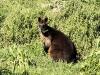 Een Kangoeroe eet daar jong gras