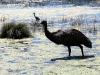zien we hoe een Emoe in bad wil bij die reiger