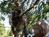 ook nog eens dit Koalabeertje!!!