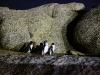 In Bicheno komen Dwergpinguïns aan land