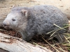 en zien we ook echt zo'n Wombat!