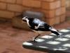 en een Magpie op de tafel