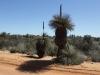 Of wat denk je van deze palmplanten in het Nationale Park van Kalbarri?
