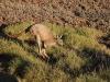 want de eerste kangoeroes kondigen zich nu aan