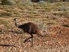 maar deze Emoe liep echt langs de weg!