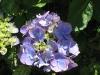 en de Hortensia\'s, die nu overal rijk beginnen te bloeien.