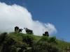 zien we zelfs boven ons nog Hollandse koeien