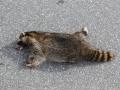 maar onderweg zien we helaas toch wasbeertjes als verkeersslachtoffer...