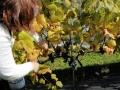 waar nu echt druiven geplukt worden.
