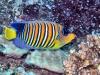 een prachtige Pauwkeizervis