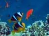 en wat dieper kan ik al snorkelend deze anemoonvisjes fotograferen