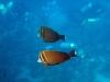 en of dat nog niet genoeg is, een mooi stelletje Zeilvindoktersvissen,
