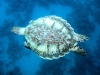en ik zie zelfs een pijlsnel roeiende zeeschildpad voor me wegduiken!