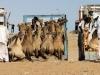 Die kamelen kwamen trouwens lopend uit Sudan en worden nu ingeladen