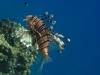 pterois-miles-lionfish-rotfeuerfisch-koraalduivel-1