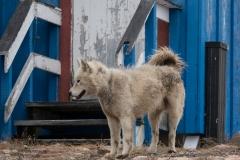 109 loslopende honden, bij veel deels afgebladderde huizen.