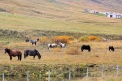 8 en heel veel stevige IJslandse paardjes,