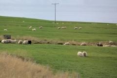 7 steeds langs grote kuddes 'wolronde' schapen