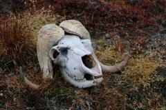 79 We zien al gauw een grote schedel van een muskusos op de grond,