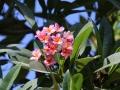 08 waar ook de tempelbomen prachtig bloeien en lekker geuren.