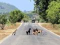 103 geiten die plots de weg oversteken,