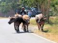 105 buffels, die naar hun grond teruggebracht worden