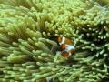 154 Kleine Clownsvisjes proberen zich voor mij te verstoppen in hun zachte koralen,