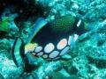 155 en ook deze komisch 'geklede' Clowntrekkervis gaat er snel vandoor.