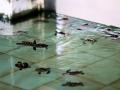 31 Middenin de hoofdstraat ontdekken we drie baden vol 'geredde' schildpadjes,