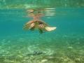 34 En kijk, zo'n tweede Zeeschildpad heeft zuigvissen bij zich die steeds met hem mee reizen.