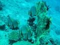 50 en een groep grote Vleermuisvissen.