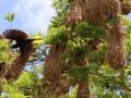En daarvandaan bezoeken we ook nog Lago Apoyo, waar ik Geelstaartvogels bewonder