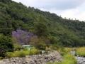 en met de stroom meekijkend, deze bijzondere, blauw bloeiende bomen!