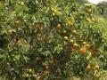Aan de overkant van het water groeien sinaasappelen -