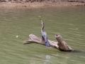 maar ook een grote  Slanghalsvogel die net een vis ving!