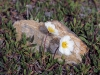 overal zie je Zilverwortel (Dryas) tussen de met stenen bezaaide grond