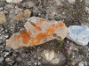 waar Zuiltjessteenbreek (Purple Saxifrage) onder schuilt