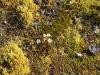 dat is een Steenbreeksoort met bloemetjes die je hier overal ziet,