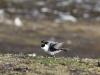 Iets verder weg landt de Long tailed Skua (Kleinste Jager),