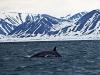 Nog meer te zien? Richting kust duikt een Dwergvinvis op!