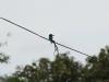 We zien ook een prachtig blauw IJsvogeltje