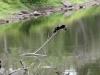en nog een Aalscholver die z'n vleugels droogt.