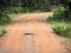 een Varaan kruist ook ons pad